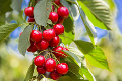 Red and sweet ripe cherries Royalty Free Stock Photo