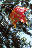 Red Sweetgum Leaf in Shallow Water. Red Sweetgum Leaf on a rock in shallow water reflecting sky Royalty Free Stock Photo
