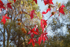 Red Sweetgum tree leaves Royalty Free Stock Photography