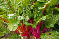 Red swiss chard Stock Photo