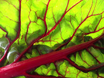 Red Swiss chard backlit Royalty Free Stock Photography