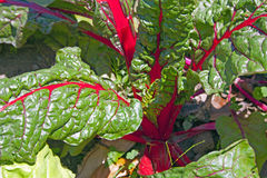 Red Swiss Chard Growing In Home Garden Stock Images