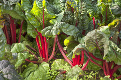 Red Swiss Chard Growing Organically in a Field Ready to be cut In Oregon, the Pacific Northwest. Royalty Free Stock Image