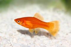 Red Swordtail Female Xiphophorus Helleri aquarium fish. Isolated on white stock image
