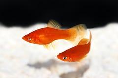 Red Swordtail Female Xiphophorus Helleri aquarium fish on white. Fish stock photo