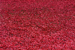 Red symbolic ceramic poppies - Tower of London Royalty Free Stock Photo