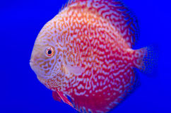 Red Symphysodon Discus in blue Stock Photo