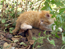 Red tabby cat amidst vegetation. Red kitten young cat amidst the grass Royalty Free Stock Image