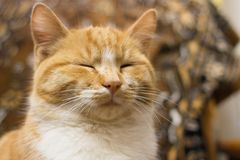 Red tabby cat dozing. A red tabby cat. The cat is dozing. Sleepy animal stock image