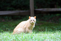 Red Tabby Cat Royalty Free Stock Photos
