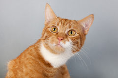 Red tabby cat on gray background Stock Images