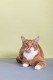 Red tabby cat on green background Royalty Free Stock Photos