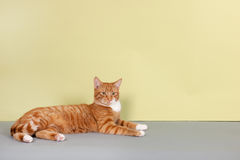Red tabby cat on green background Stock Image
