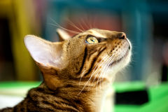 Red tabby cat in profile close-up. Looking up on blurred background royalty free stock photos