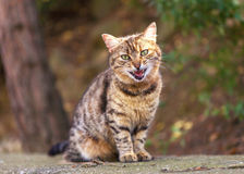 Red tabby cat sitting angry on the street and meowing Royalty Free Stock Photos