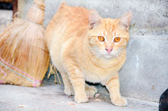 Red tabby cat stalking Stock Image