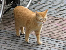 Red tabby Royalty Free Stock Photos