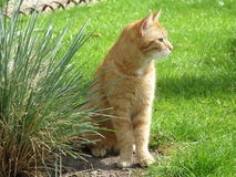 Red tabby Royalty Free Stock Image