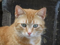 Red tabby Stock Photo