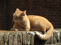 Red tabby Stock Images