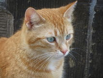 Red tabby royalty free stock photo