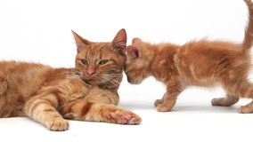 Red Tabby Domestic Cat, Female with Kitten against White Background, stock footage
