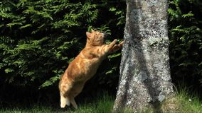 Red Tabby Domestic Cat jumping on Tree Trunk, Normandy, stock footage