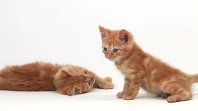 Red Tabby Domestic Cat, Kittens playing against White Background stock footage