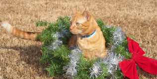 Red tabby kitty cat in a Christmas wreath Royalty Free Stock Photos