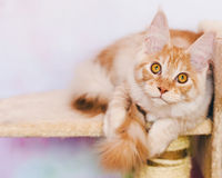 Red Tabby Maine Coon Kitten Royalty Free Stock Photos