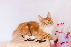 Red Tabby Maine Coon Kitten Royalty Free Stock Photography