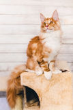 Red Tabby Maine Coon Kitten Royalty Free Stock Photo