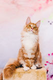 Red Tabby Maine Coon Kitten Stock Photography