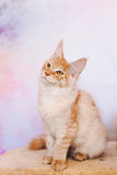 Red Tabby Maine Coon Kitten Royalty Free Stock Images
