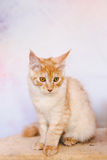 Red Tabby Maine Coon Kitten Stock Photos