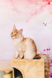 Red Tabby Maine Coon Kitten Stock Photo