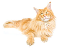 Red tabby Maine Coon on white background Stock Image