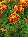Red tagetes patula flowers. Red tagetes patula with green leaves royalty free stock photography