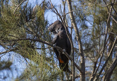 Red Tail Black Cockatoo Royalty Free Stock Image