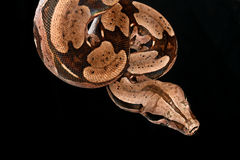 Red Tail Boa. Red Tail Boa (Boa constrictor constrictor) hanging from a tree branch Royalty Free Stock Photography