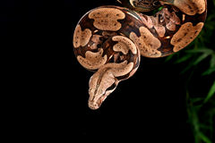Red Tail Boa. Royalty Free Stock Photography