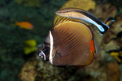 Red Tail Butterflyfish (Chaetodon collare) Royalty Free Stock Image