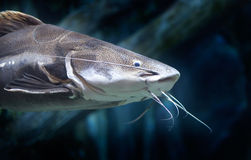 Red Tail Catfish Royalty Free Stock Images