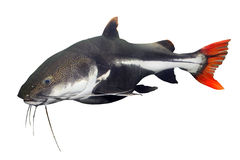 The Red Tail Catfish (Phractocephalus hemiliopterus). Tropical fish. The Red Tail Catfish (Phractocephalus hemiliopterus stock photo