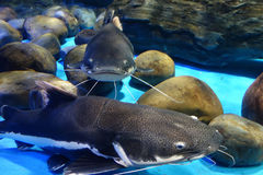 Red tail catfish Royalty Free Stock Photography