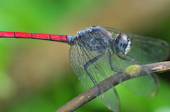 Red tail dragonfly Stock Photo