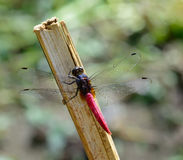 Red tail dragonfly  hanging  a stick Stock Images