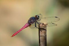 Red tail dragonfly  hanging  a stick Royalty Free Stock Image