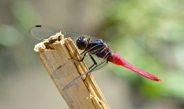 Red tail dragonfly  hanging  a stick Royalty Free Stock Photos