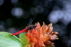 Red tail dragonfly rests on ginger flower head. Singapore - July 9, 2016: A red backed tropical dragonfly rests on a pale red, orange colored ginger flower head Royalty Free Stock Images